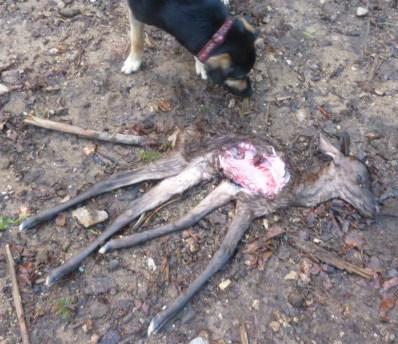Ein halb aufgegessenes Rehkitz? War das ein Bär?