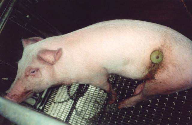 Schwein_künstlicherKörpereingangklein