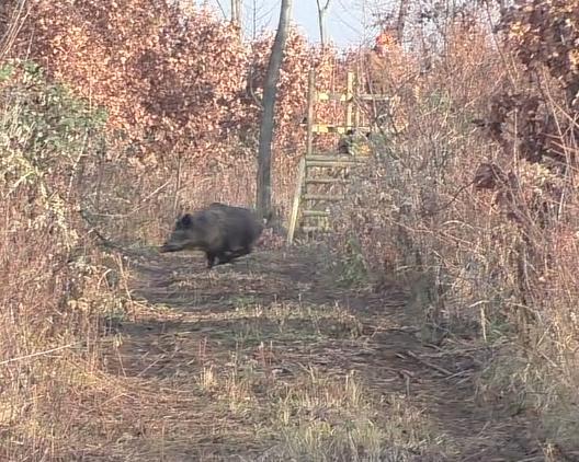 Bildschirmfoto vom 2015-11-30 22:28:22 Laufendes Wildschwein klein