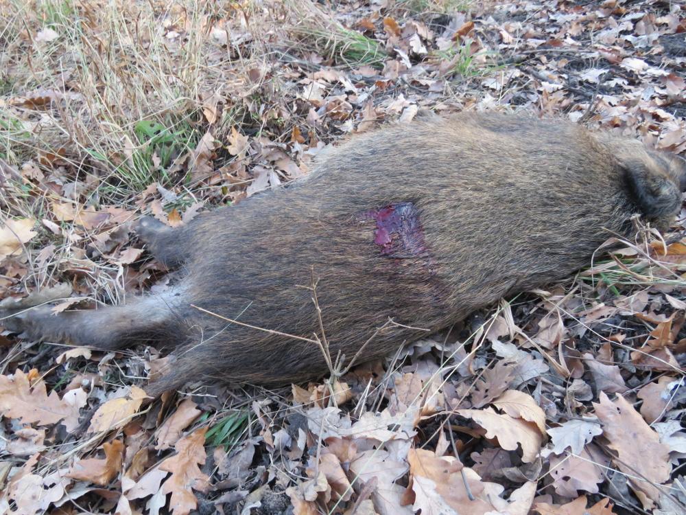 IMG_0131 totes Wildschwein, schußwundeklein