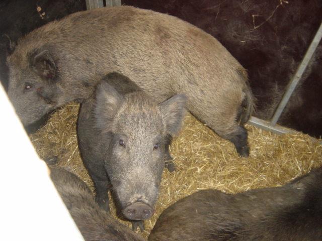 WildschweineImTransport
