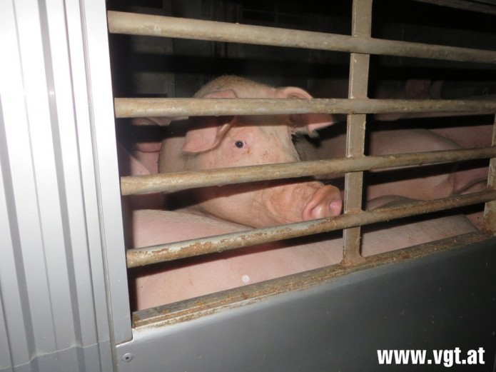 schweine_transporter_07-andere