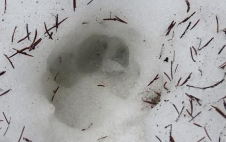 Die Österreichische Jägerschaft will schon wieder die Wölfe ausrotten!