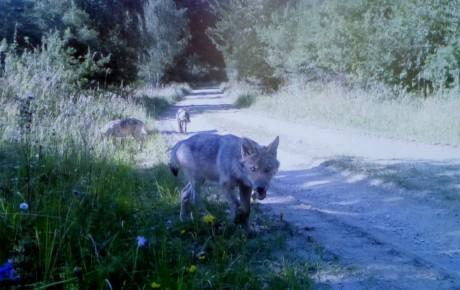 Das erste Wolfsrudel in Österreich!
