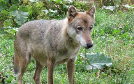 Vorbild: Der Wolf in den Südkarpaten